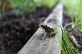 Frog In Green Grass During Monsoon Morning. European common brown frog