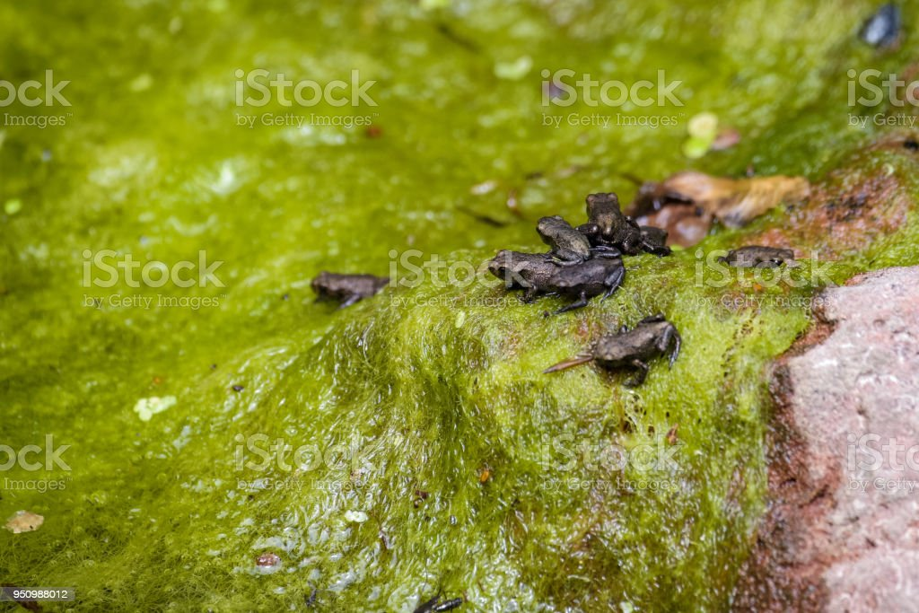 Young common toads emerging from the water after growing all feet stock photo