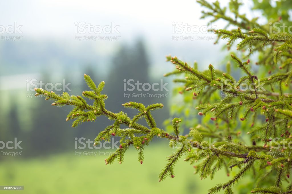 Young cones on  fir branch stock photo