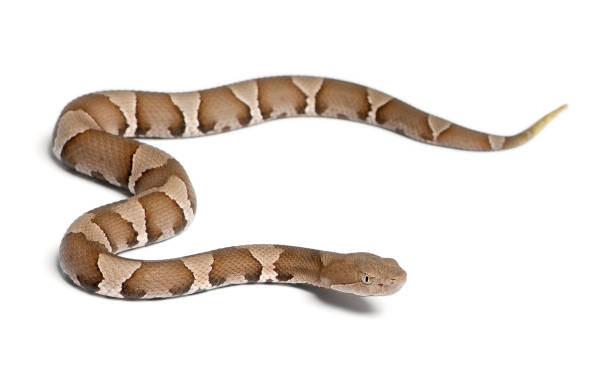 若いアメリカマムシスネークやハイランドモカシン-agkistrodon contortrix (有害 - ヘビ ストックフォトと画像