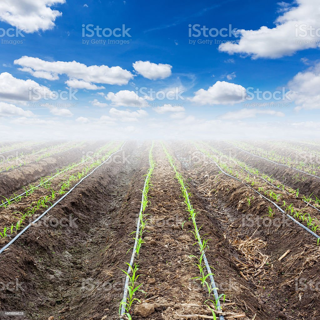 young corn field and blue sky with drip irrigation stock photo