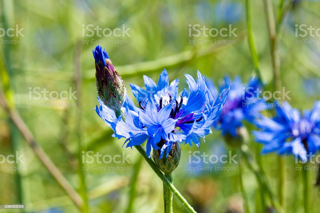Young corn flower on spring meadow. stock photo