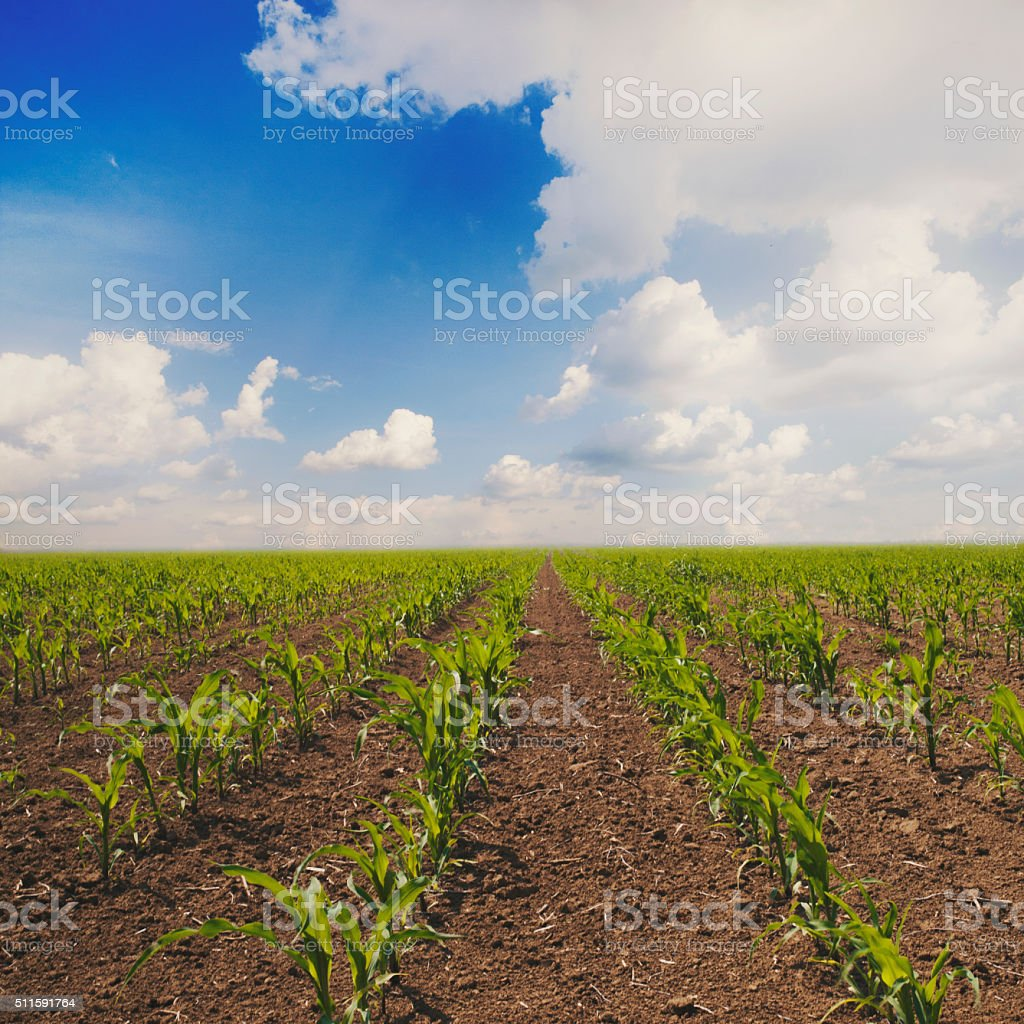 Young corn plants at cornfield in early spring stock photo