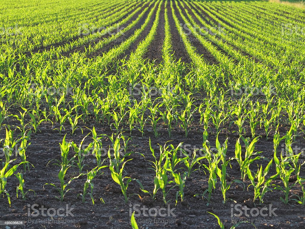 Young corn plants stock photo