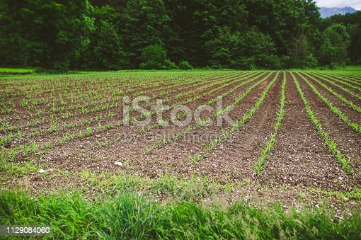 Young corn seedling field in spring