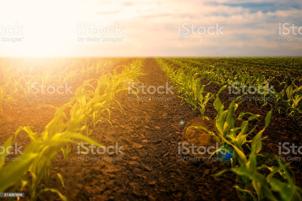 Young corn seedlings stock photo