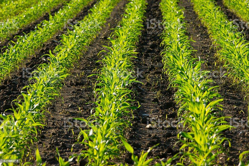 Young cornfield stock photo