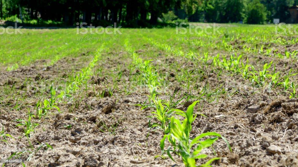 Jonge korenbloemen op het veld - Royalty-free Buitenopname Stockfoto