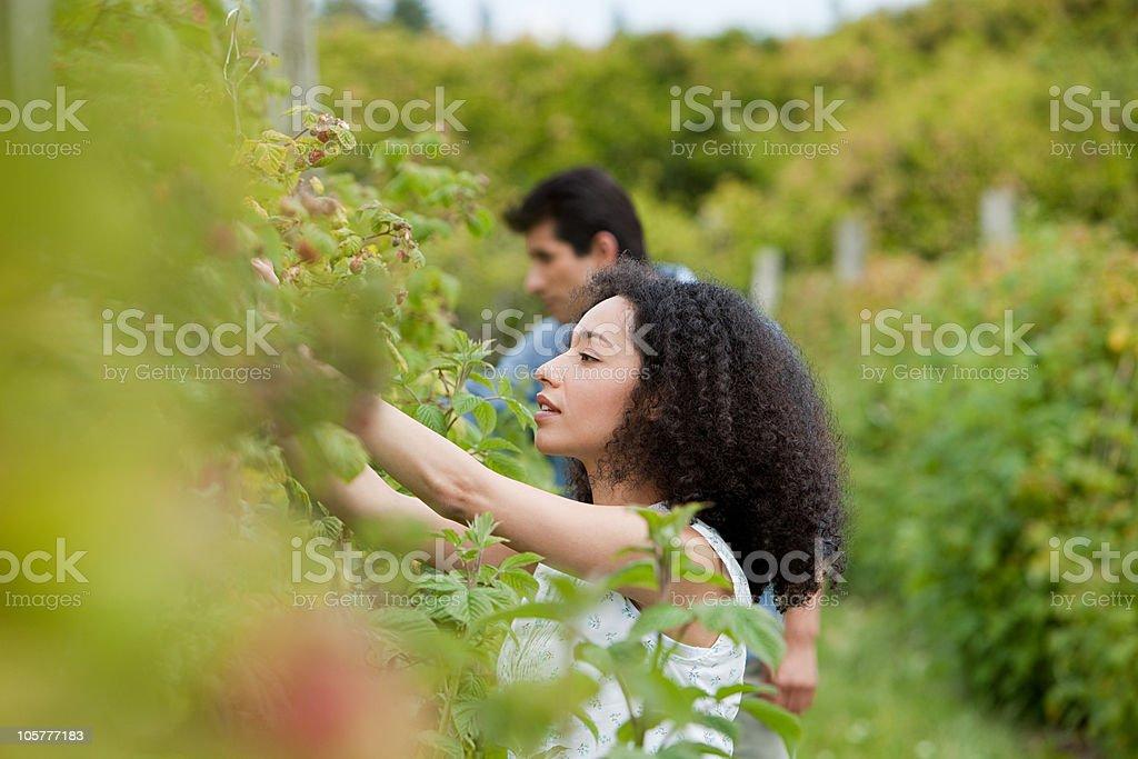 Young couple picking fruit on farm stock photo