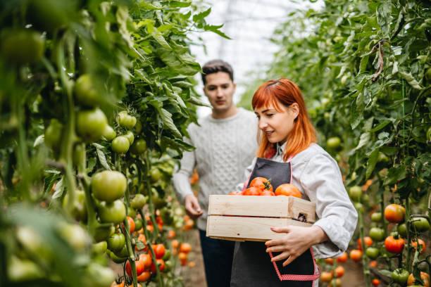 Junges Paar holt Tomaten im Gewächshaus – Foto