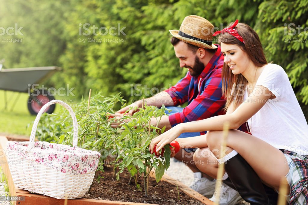Young couple planting organic tomatoes stock photo