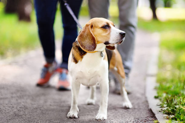 Young couple with beagle dog wearing in collar and leash walking in picture id1150528486?b=1&k=6&m=1150528486&s=612x612&w=0&h=7vkzgmghkishopuvu qit cihsifii8oa0w0pabs2um=