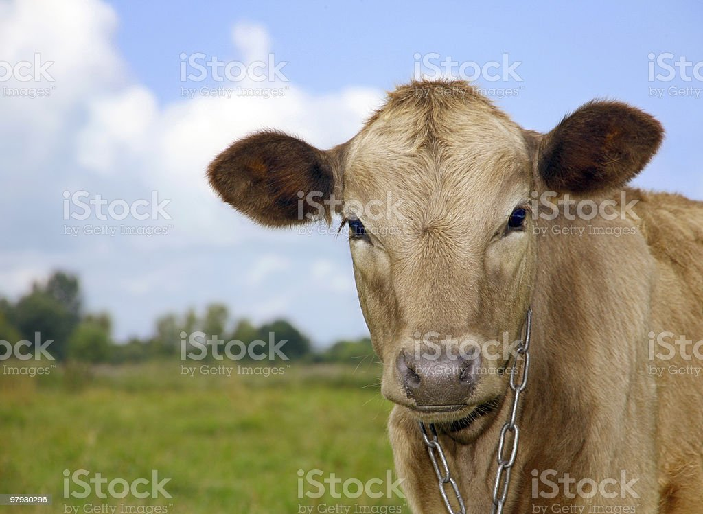 Young cow detail royalty-free stock photo