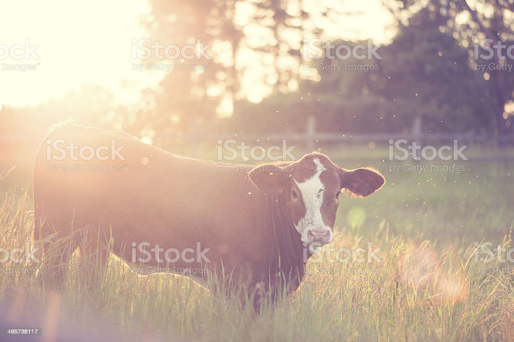 Young cow grazing on the meadow in evening light (XXXLarge) stock photo