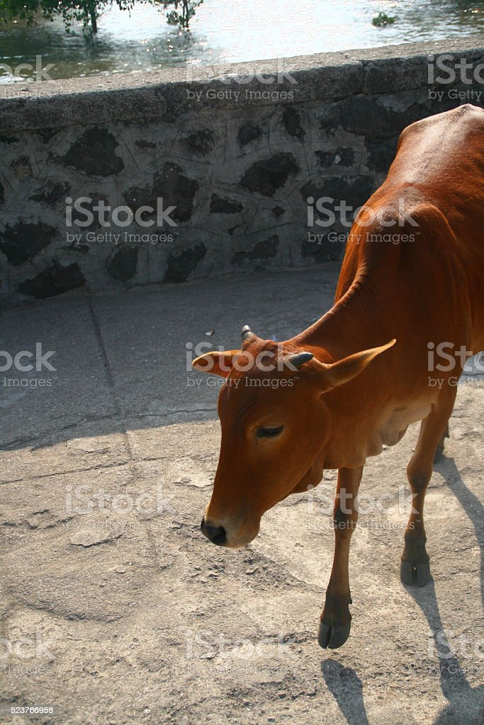 Young Cow in India stock photo