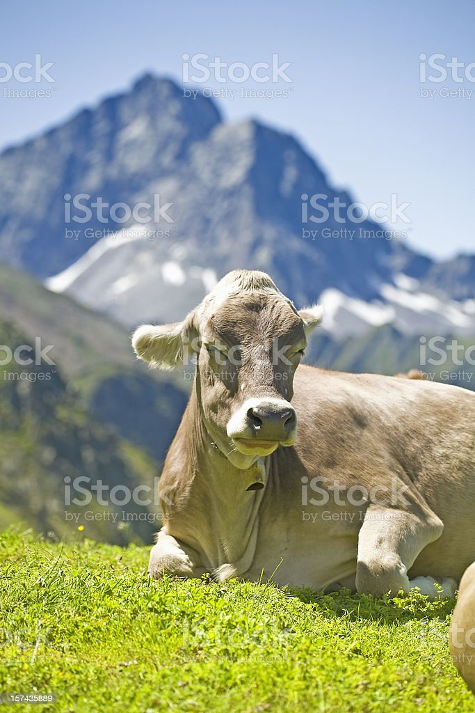 young cow in the alps royalty-free stock photo