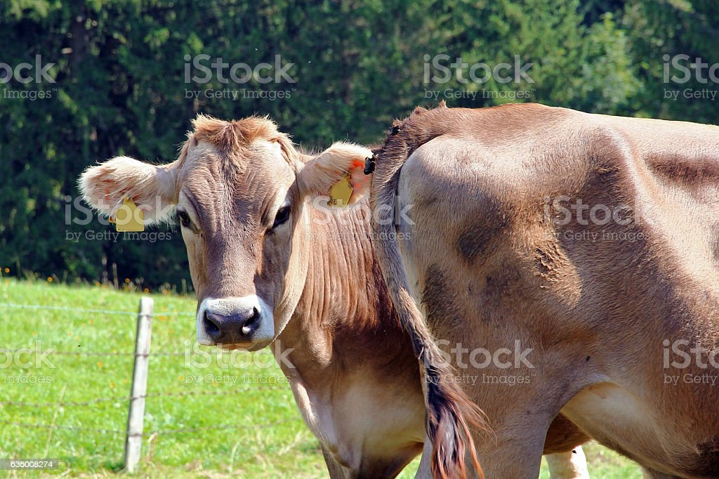 young cow looks past the butt of another cow stock photo