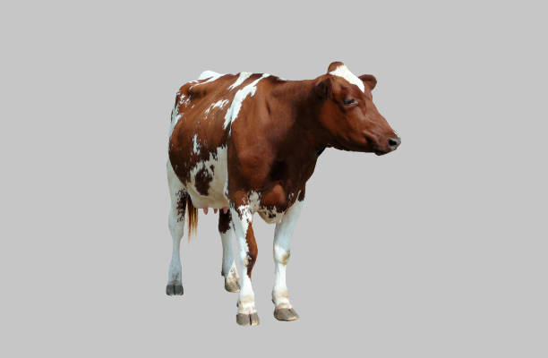 Young cow on a gray background. stock photo