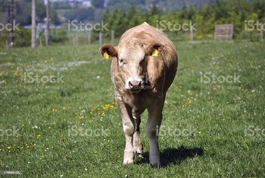 young cow royalty-free stock photo