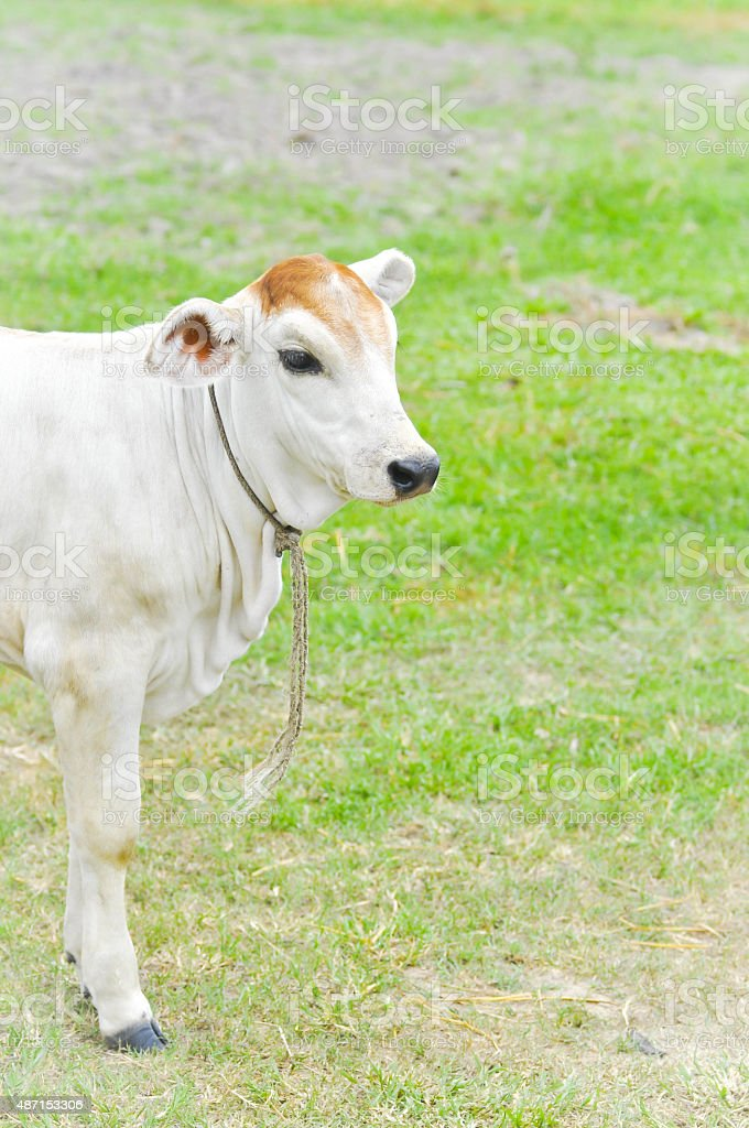 young cow stock photo