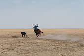 Cowboy chasing on his horse after escaped young bull to the endless prairie horizon. Throwing his lasso, trying to catch the young bull. Real People Cowboy Series. Utah, USA.
