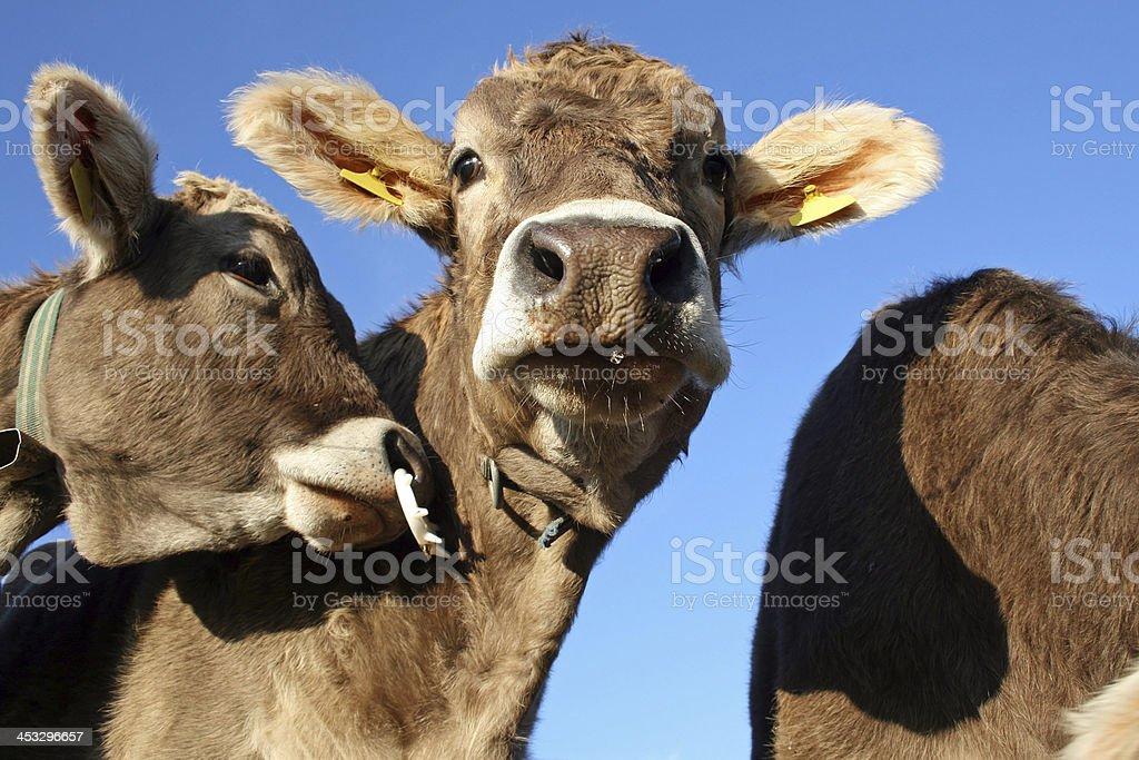 Junge Kühe – Foto