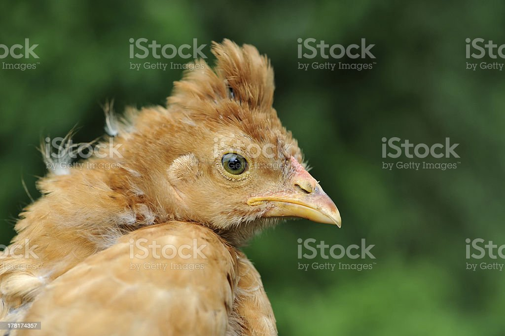 Young Crested Chicken Close-Up royalty-free stock photo