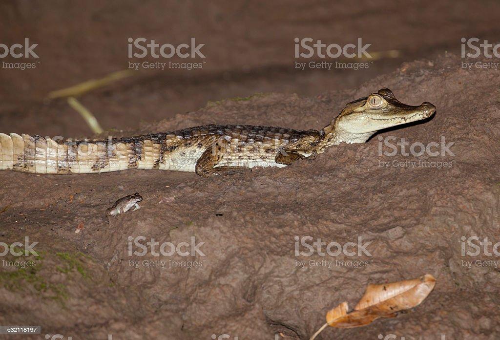 Young crocodile and frog stock photo