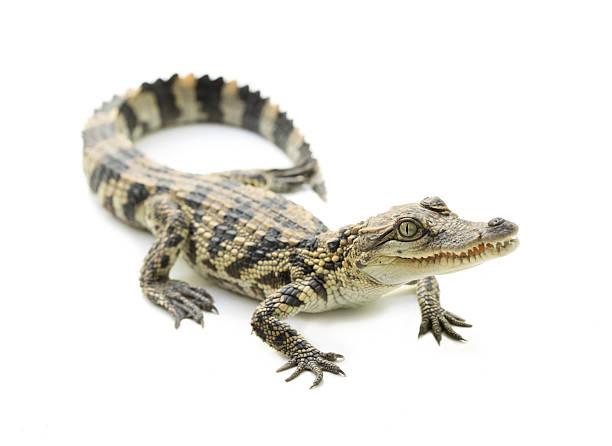 young crocodile on white background - Photo