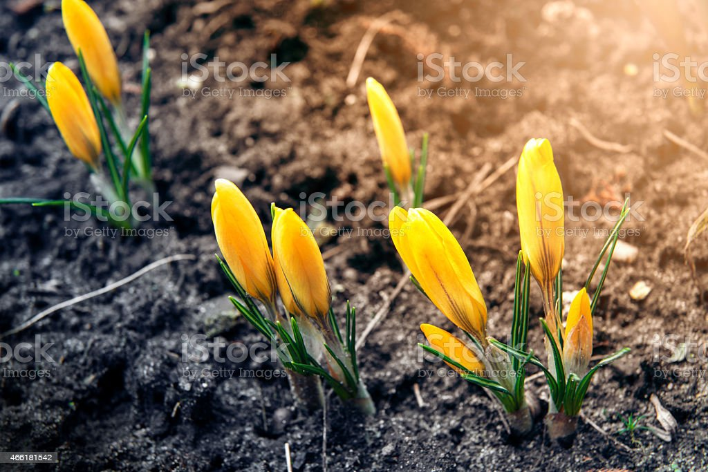 Young crocuses grow in a sunny spring day. stock photo