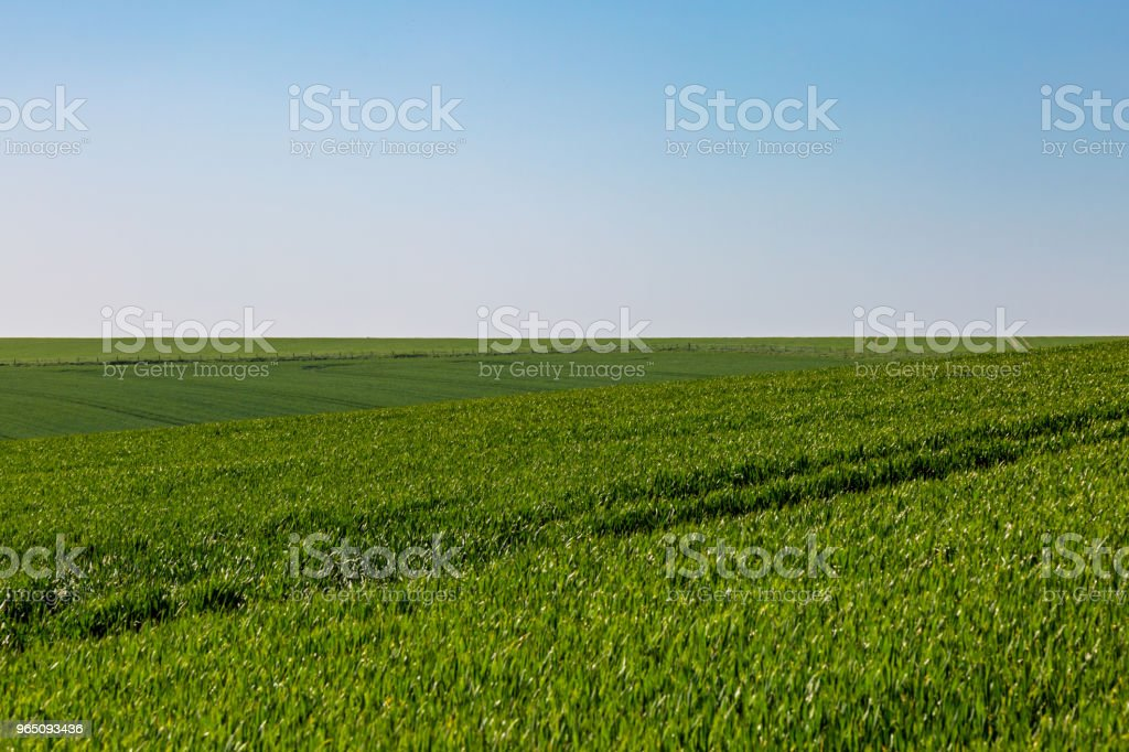 Young Crops Growing zbiór zdjęć royalty-free