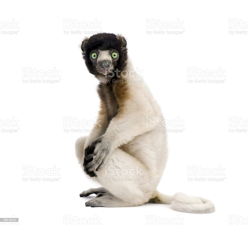 Young Crowned Sifaka, Propithecus Coronatus, 1 year old, sitting​​​ foto