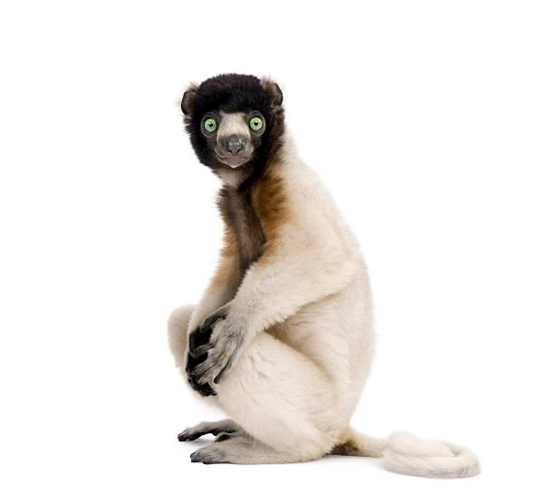 young crowned sifaka, propithecus coronatus, 1 year old, sitting - lemur bildbanksfoton och bilder
