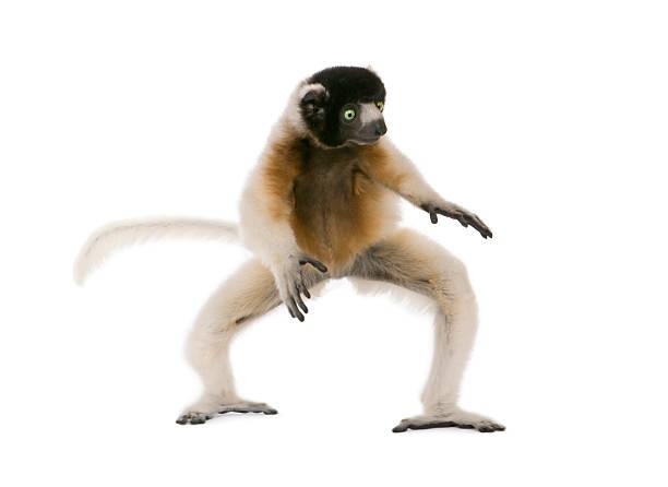 young crowned sifaka, propithecus coronatus, 1 year old, walking - lemur bildbanksfoton och bilder