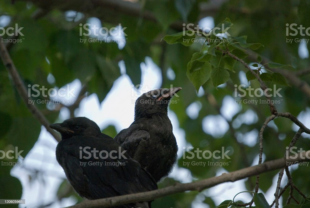 Young Crows stock photo