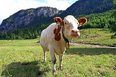 A young curious white-red simmental cattle with cowbells in the mountains