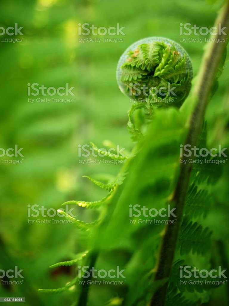 Young curly leaf of fern growing through the fallen leaves zbiór zdjęć royalty-free