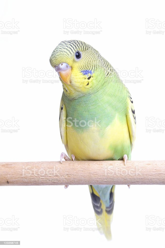 Young cute Budgie stock photo