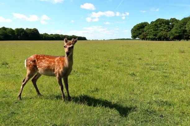 Young cute deer Young cute deer deerstalker hat stock pictures, royalty-free photos & images