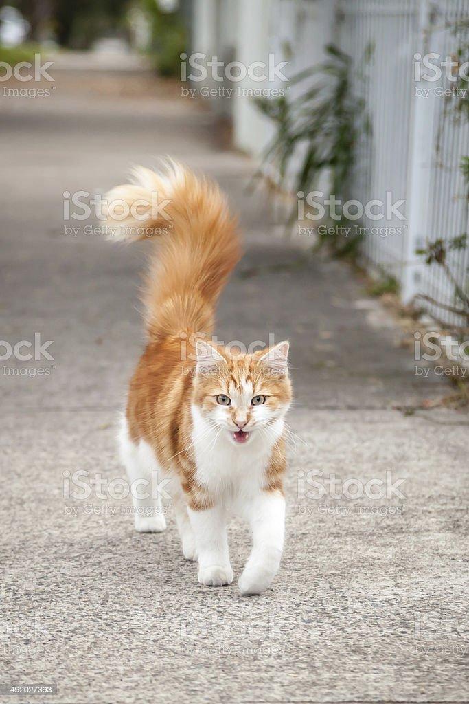 Young Cute Ginger and White Tabby Cat on the Footpath stock photo