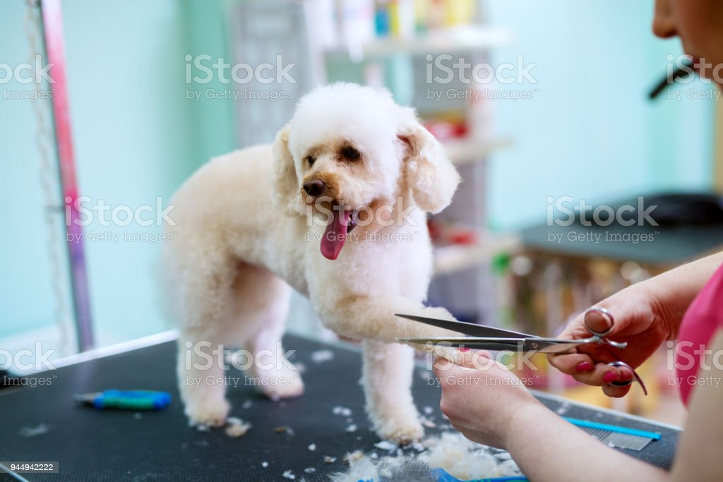Young cute happy little white dog is having his fur on paws trimmed by a female animal hairdresser. stock photo