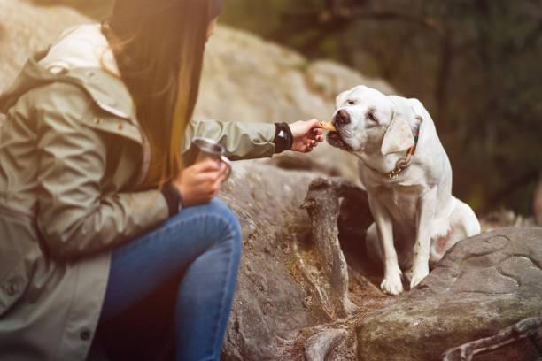 junge süße Labrador Retriever Hund Welpe bekommt etwas zu Essen von einer Frau – Foto