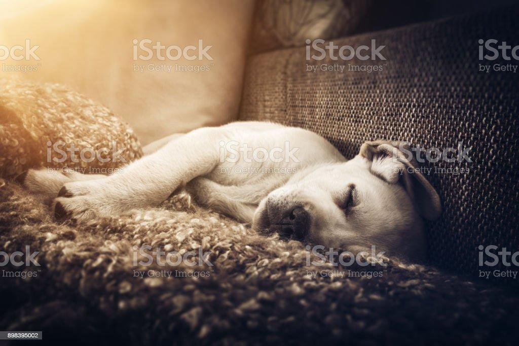 junge süße Labrador Retriever Hund Welpe schläft auf der couch – Foto