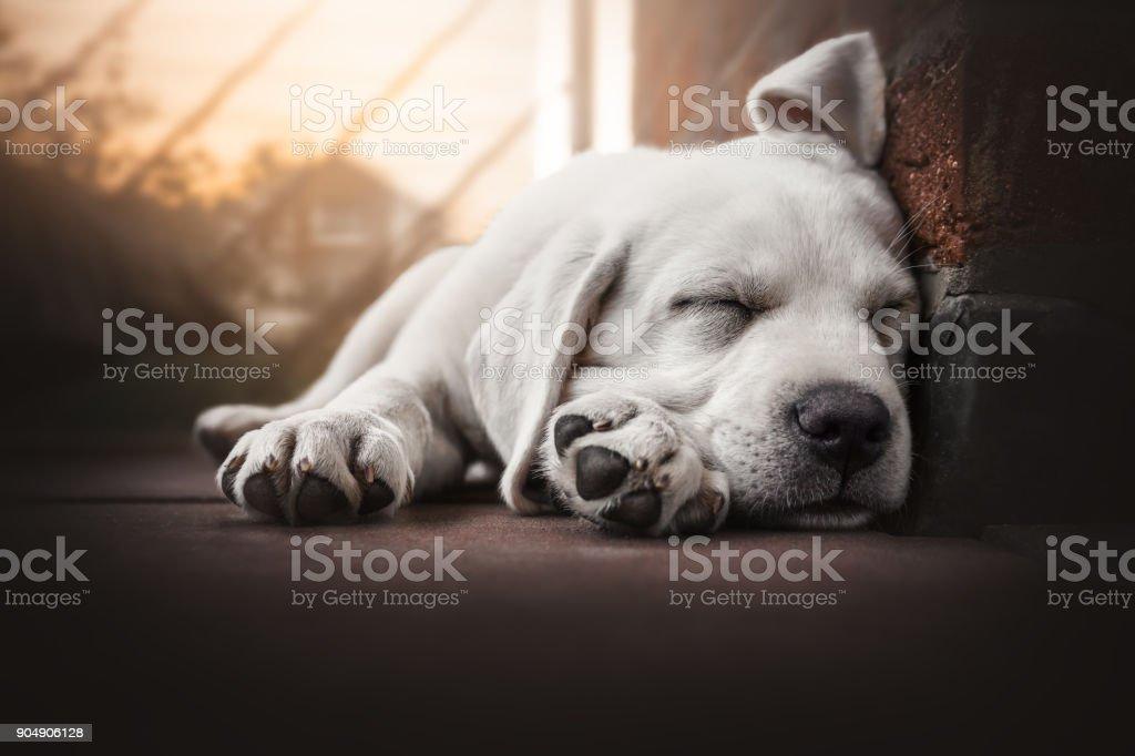 junge süße Labrador Retriever Hund Welpe liegt in der Sonne schlafen – Foto