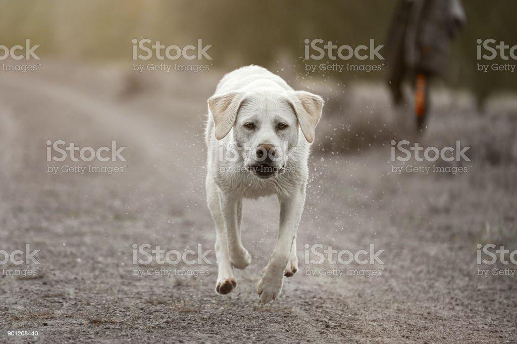 junge süße Labrador Retriever Hund Welpe läuft schnell in Staub – Foto