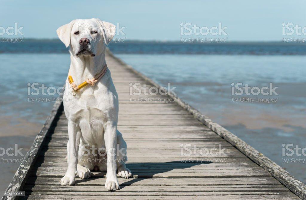 junge süße Labrador Retriever Hund Welpe Sonnenbaden am Strand vor dem Wasser – Foto