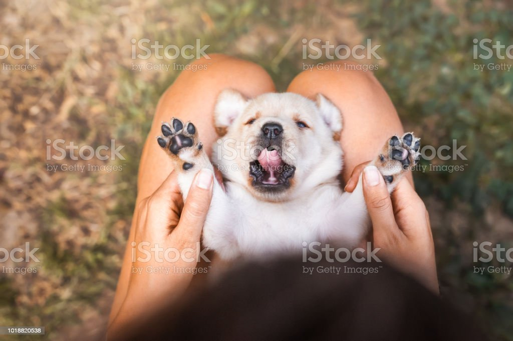 young cute small labrador retriever dog puppy with beautiful paws...