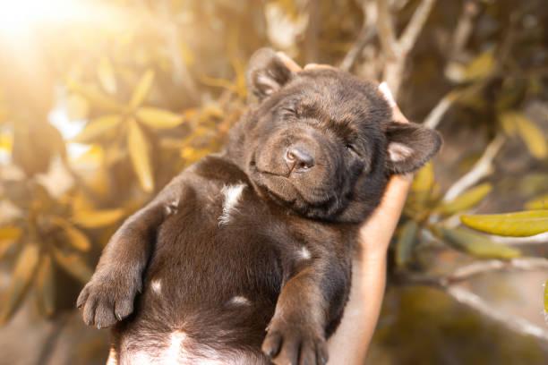 Junge süße müde braune Labrador Retriever Hund Welpe Tier in Menschenhand im Freien schlafen – Foto