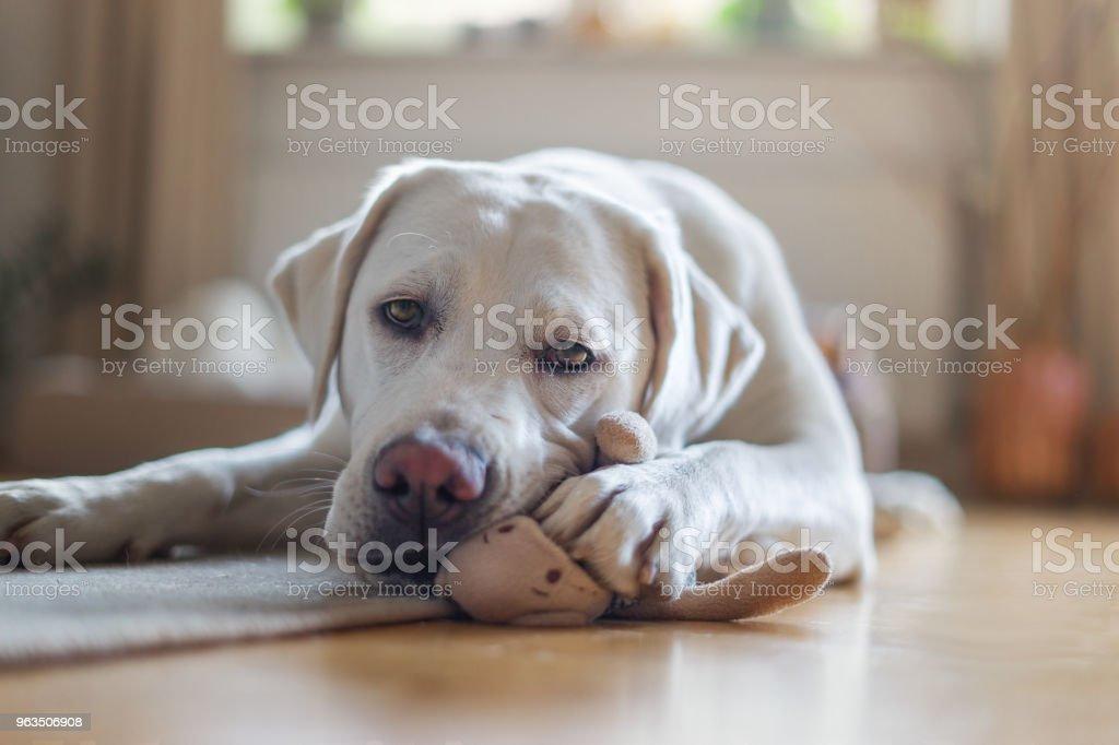 Junge süße weiße Labrador Retriever Hund Welpen zu Hause spielen mit Spielzeug – Foto