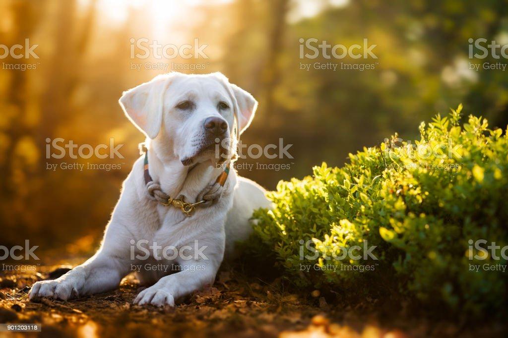 junge süße weiße Labrador Retriever Hund Welpen im Wald während der goldenen Sonnenuntergang – Foto